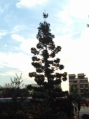 Tree:16443060_1816439381953716_1271933012_o.jpg