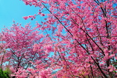 2015春  司馬庫斯賞櫻之旅:2015春  司馬庫斯賞櫻行_015.jpg