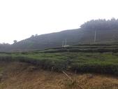 【雲林古坑。樟湖生態特色中小學】:茶園美景.jpg