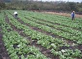 【貝里斯。生活】Belize Life就是愛海泥根:推廣戶種植之萵苣