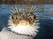 漁人休閒-海洋生物第一部:P8303955.JPG