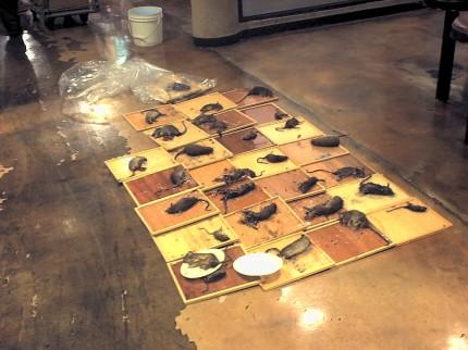 老鼠:黏鼠板捕獲的老鼠-欣立除蟲公司0800-003199