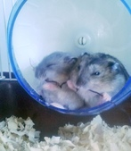 654三線鼠短尾侏儒倉鼠倉鼠科:00038三線鼠短尾侏儒倉鼠倉鼠科.jpg