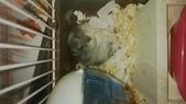 654三線鼠短尾侏儒倉鼠倉鼠科:00060三線鼠短尾侏儒倉鼠倉鼠科.jpg
