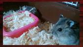 654三線鼠短尾侏儒倉鼠倉鼠科:00014三線鼠短尾侏儒倉鼠倉鼠科.jpg