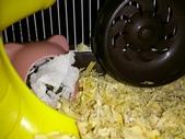 654三線鼠短尾侏儒倉鼠倉鼠科:00026三線鼠短尾侏儒倉鼠倉鼠科.jpg