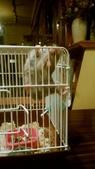 654三線鼠短尾侏儒倉鼠倉鼠科:00042三線鼠短尾侏儒倉鼠倉鼠科.jpg