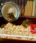 654三線鼠短尾侏儒倉鼠倉鼠科:00044三線鼠短尾侏儒倉鼠倉鼠科.jpg