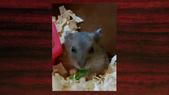 654三線鼠短尾侏儒倉鼠倉鼠科:00015三線鼠短尾侏儒倉鼠倉鼠科.jpg