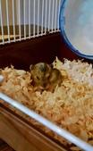 654三線鼠短尾侏儒倉鼠倉鼠科:00043三線鼠短尾侏儒倉鼠倉鼠科.jpg