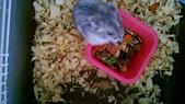 654三線鼠短尾侏儒倉鼠倉鼠科:00050三線鼠短尾侏儒倉鼠倉鼠科.jpg