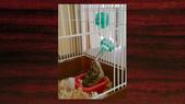 654三線鼠短尾侏儒倉鼠倉鼠科:00019三線鼠短尾侏儒倉鼠倉鼠科.jpg