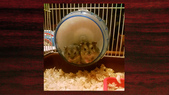 654三線鼠短尾侏儒倉鼠倉鼠科:00017三線鼠短尾侏儒倉鼠倉鼠科.jpg
