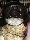 654三線鼠短尾侏儒倉鼠倉鼠科:00025三線鼠短尾侏儒倉鼠倉鼠科.jpg