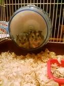 654三線鼠短尾侏儒倉鼠倉鼠科:00035三線鼠短尾侏儒倉鼠倉鼠科.jpg