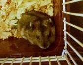 654三線鼠短尾侏儒倉鼠倉鼠科:00036三線鼠短尾侏儒倉鼠倉鼠科.jpg