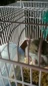654三線鼠短尾侏儒倉鼠倉鼠科:00047三線鼠短尾侏儒倉鼠倉鼠科.jpg