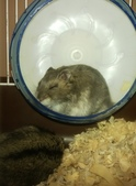 654三線鼠短尾侏儒倉鼠倉鼠科:00052三線鼠短尾侏儒倉鼠倉鼠科.jpg