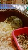 654三線鼠短尾侏儒倉鼠倉鼠科:00058三線鼠短尾侏儒倉鼠倉鼠科.jpg