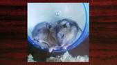 654三線鼠短尾侏儒倉鼠倉鼠科:00018三線鼠短尾侏儒倉鼠倉鼠科.jpg