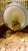 654三線鼠短尾侏儒倉鼠倉鼠科:00028三線鼠短尾侏儒倉鼠倉鼠科.jpg