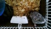 654三線鼠短尾侏儒倉鼠倉鼠科:00049三線鼠短尾侏儒倉鼠倉鼠科.jpg