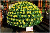 2011年士林官邸菊花展:士林官邸菊花展011.JPG