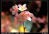 120317- 淡水天元宮賞櫻:2012天元宮賞櫻220.JPG