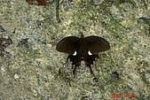 061028-砂卡噹步道與天長隧道:等我來拍照的蝴蝶