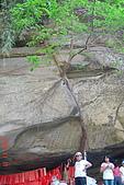 061111-南投梯子吊橋:這樹可是順著大石頭往上爬喔~