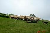 060819-清靜合歡山:牧羊犬開始趕羊囉~