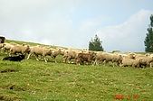 060819-清靜合歡山:成群的羊隻