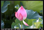 110612- 安坑台大農場荷花:IMG_2121_1.jpg