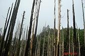 051029-杉林溪迷霧森林:參天的杉木群!