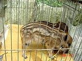 060527-九族文化村:小山豬