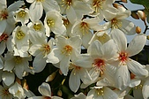 攝影2:油桐花 101.jpg