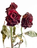 21:1154300_withered_roses_1.jpg