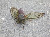 20120522~0523花東縱谷海岸DAY 1:被鳥攻擊的蟬