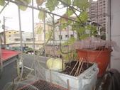 盆栽-:美濃瓜-011.JPG