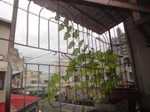 盆栽-:美濃瓜-007.JPG