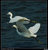 白鷺鷥:P1110918_nEO_IMG.jpg