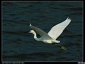 白鷺鷥:P1110920_nEO_IMG.jpg