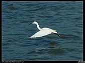 白鷺鷥:P1110902_nEO_IMG.jpg