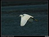 白鷺鷥:P1110932_nEO_IMG.jpg