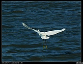 白鷺鷥:P1110903_nEO_IMG.jpg