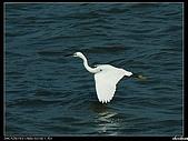 白鷺鷥:P1110904_nEO_IMG.jpg