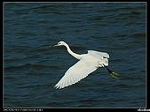 白鷺鷥:P1110935_nEO_IMG.jpg