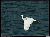 白鷺鷥:P1110905_nEO_IMG.jpg
