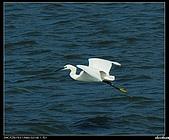 白鷺鷥:P1110907_nEO_IMG.jpg