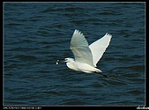 白鷺鷥:P1110908_nEO_IMG.jpg